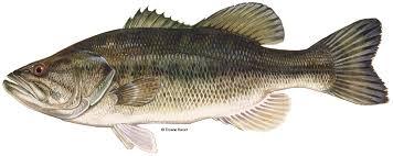 largemouth bass, sarasota quality products