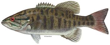 smallmouth bass, sarasota quality products